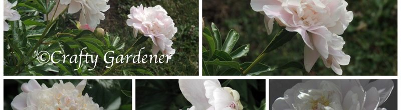 The Peonies are Blooming