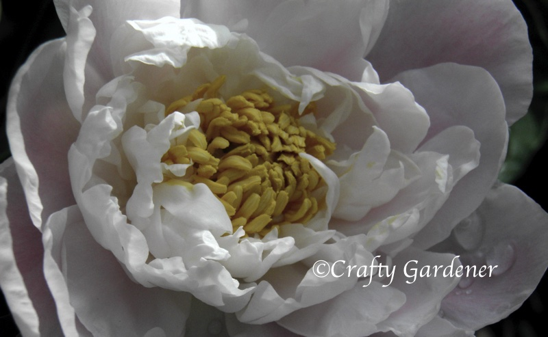 peonies in the garden at craftygardener.ca