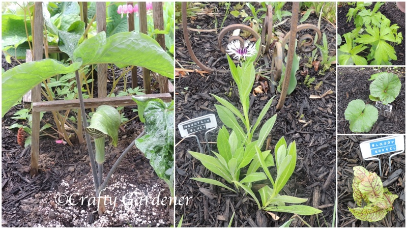 new plants added to the gardens at craftygardener.ca