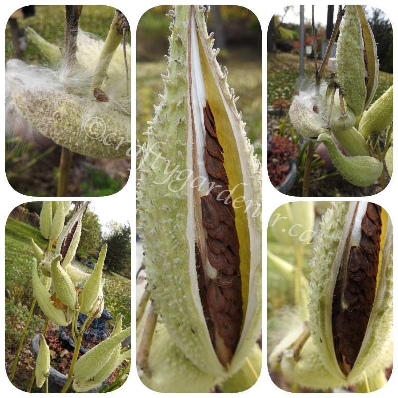 milkweed pods opening up at craftygardener.ca