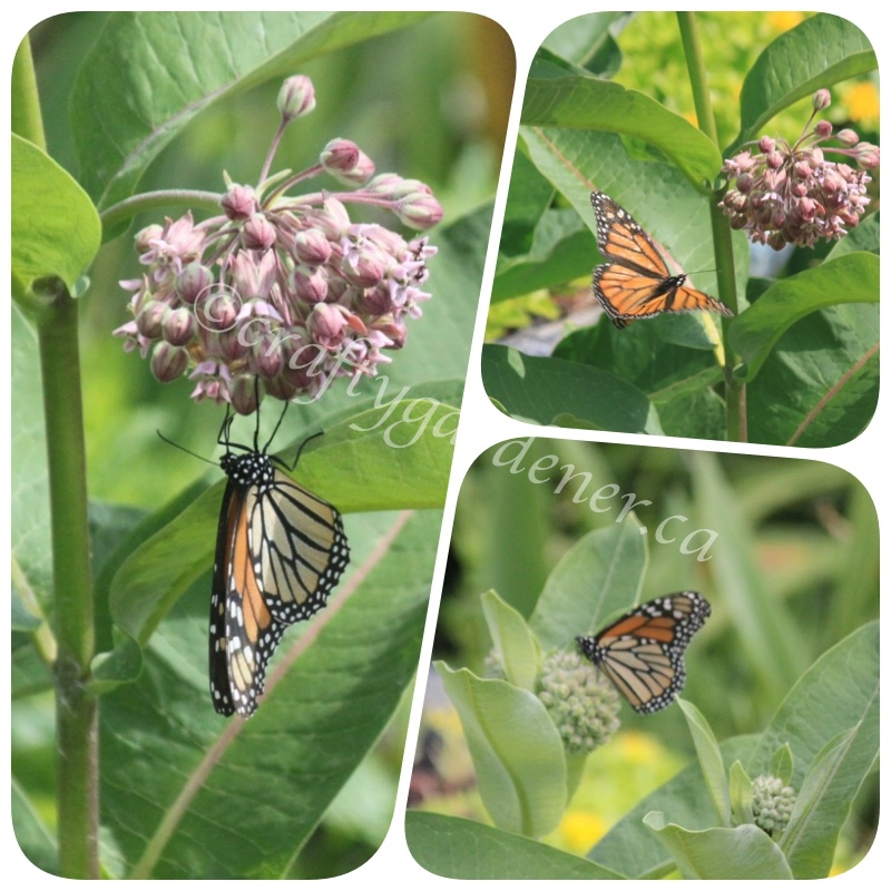 monarch butterflies on the milkweed at craftygardener.ca