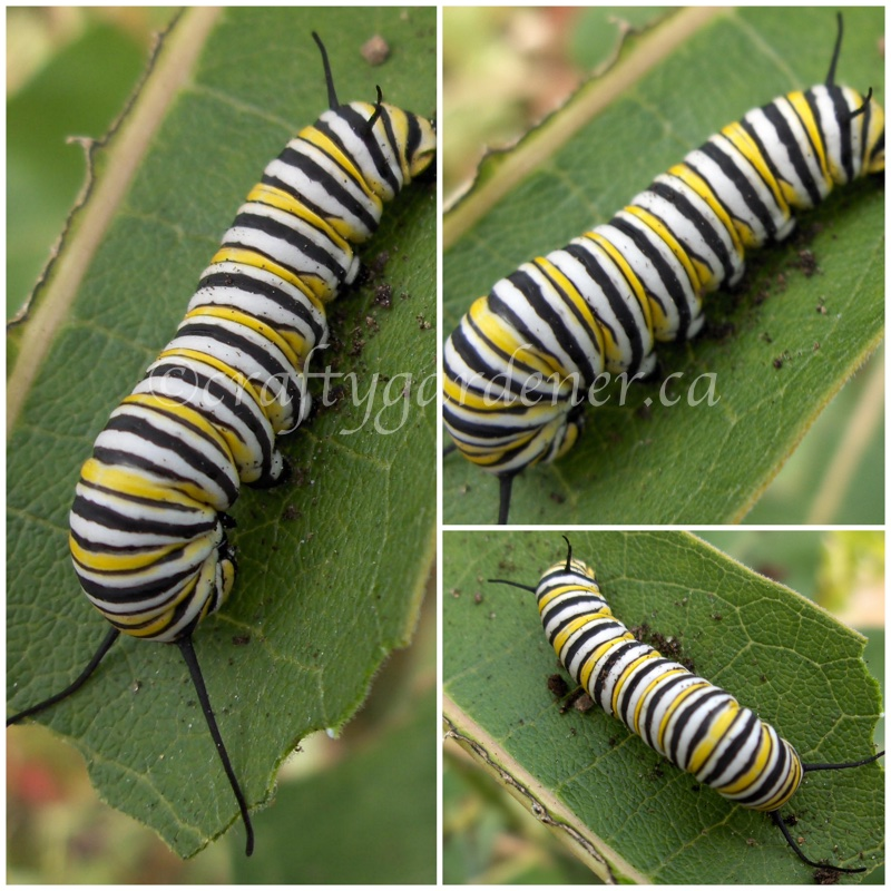 monarch butterfly caterpillar at craftygardener.ca