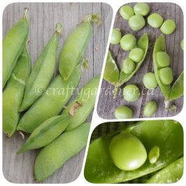 growing monk peas at craftygardener.ca