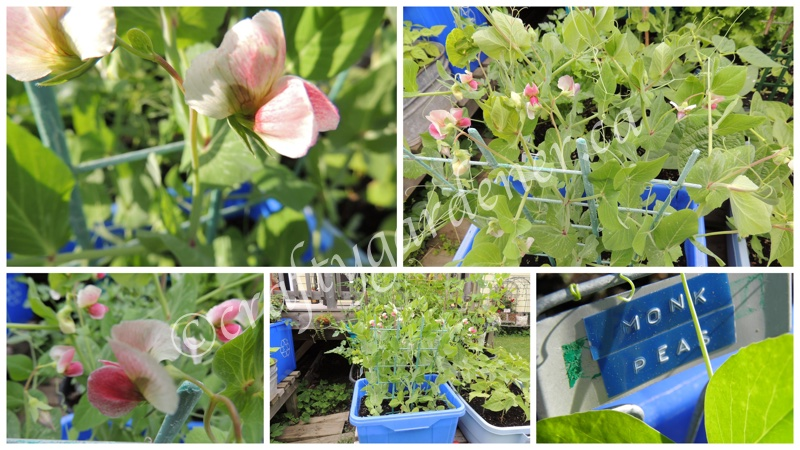 monk peas in bloom at craftygardener.ca