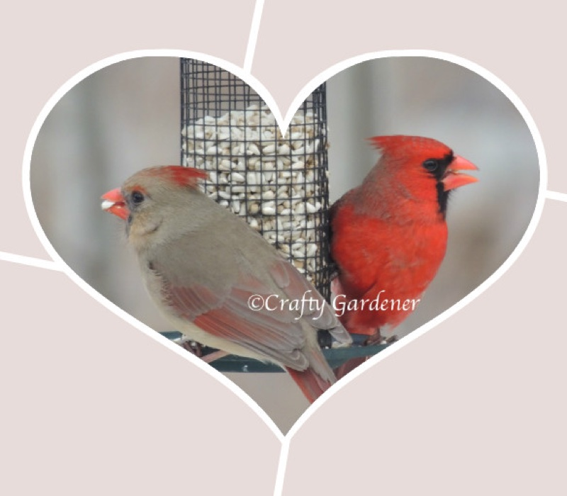 Mr & Mrs Cardinal at craftygardener.ca