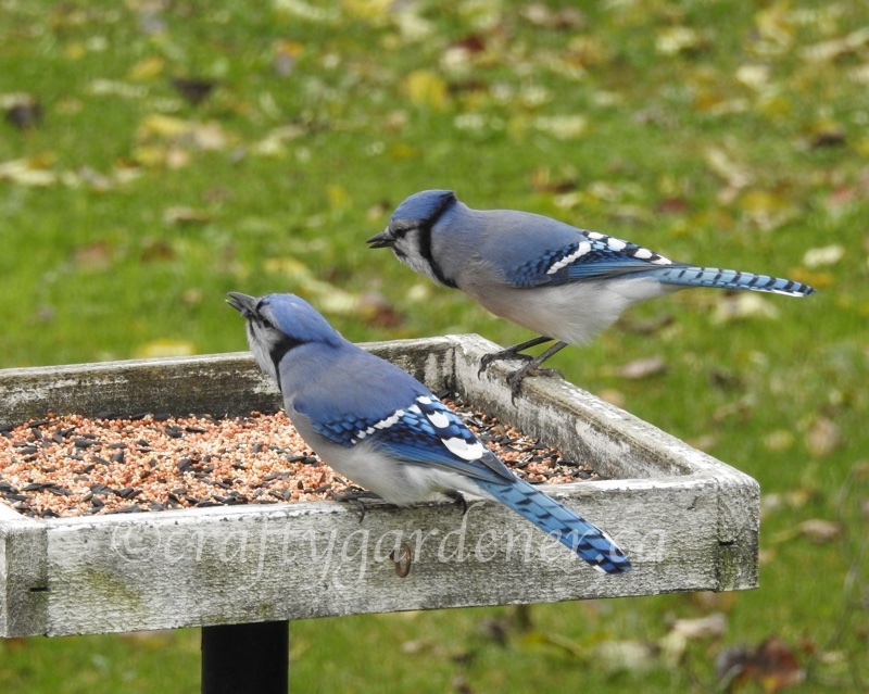 bluejays for 2sDay at craftygardener.ca