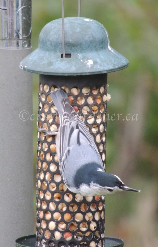 the nuthatch at craftygardener.ca