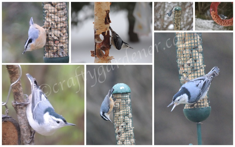 nuthatches at craftygardener.ca