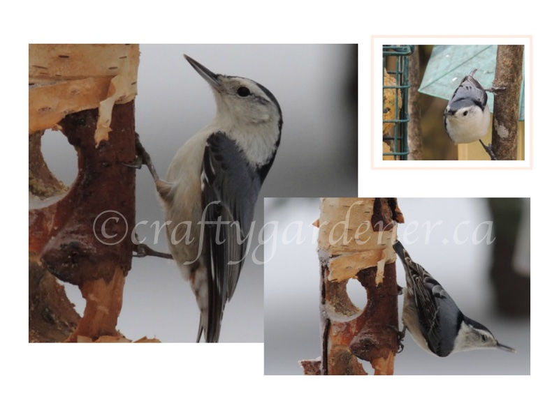 white breasted nuthatch at the feeder at craftygardener.ca
