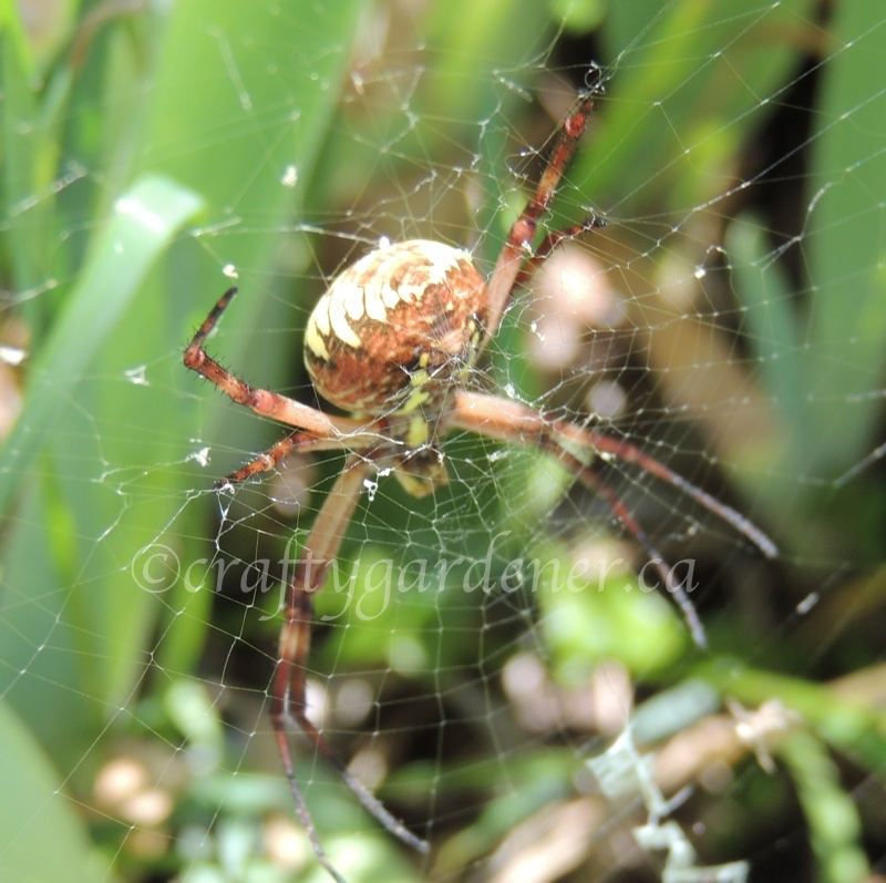 an orb weaving spider at craftygardener.ca