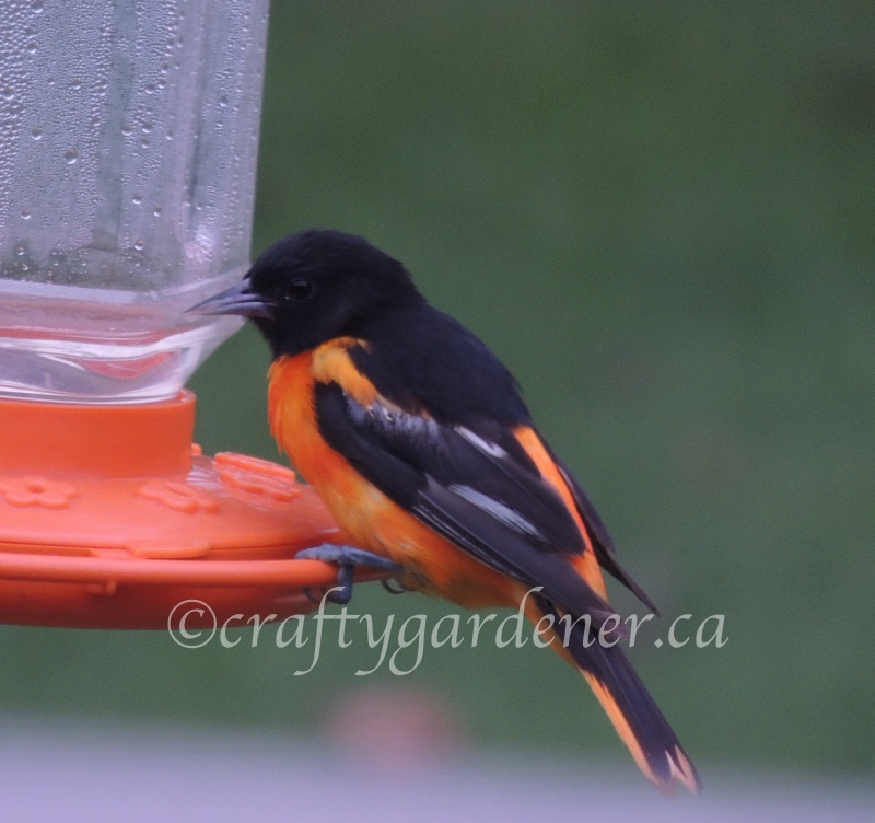 the oriole at the feeder at craftygardener.ca
