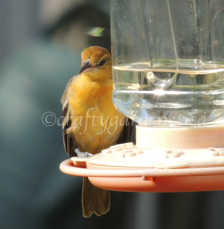 young female oriole at the feeder craftygardener.ca