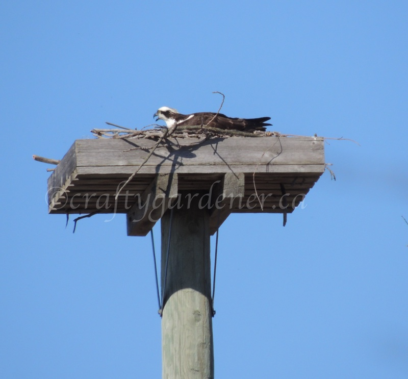 osprey on nest by craftygardener.ca