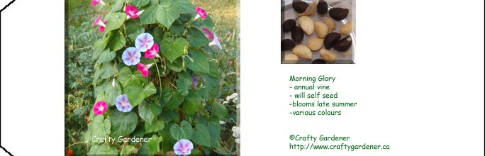 Seed Packet Printable Morning Glory