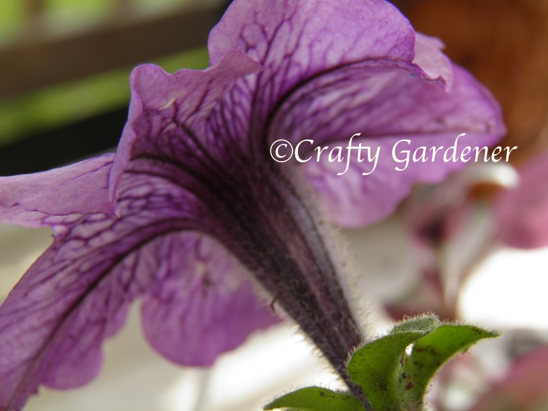 petunias at craftygardener.ca