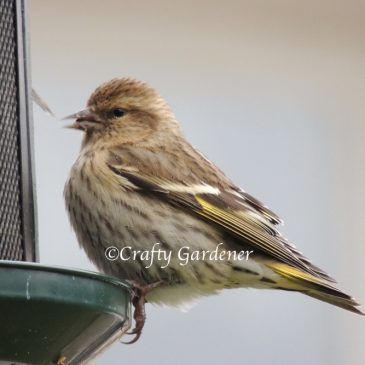 The Pine Siskins