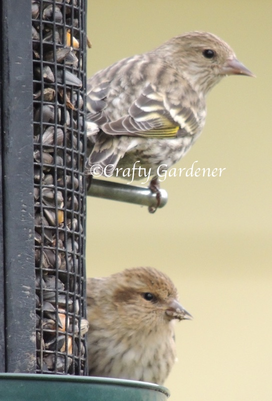 pine siskins at craftygardener.ca