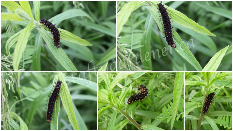 pipeline swallowtail caterpillars at craftygardener.ca