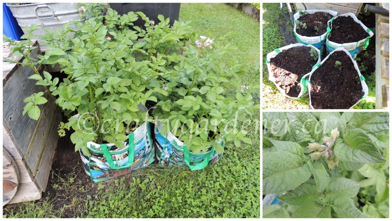 growing potatoes in bags at craftygardener.ca