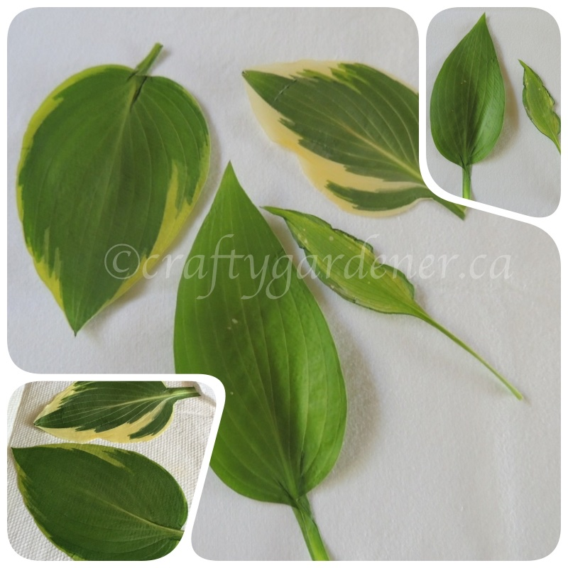 hosta leaves after being in the microwave press at craftygardener.ca