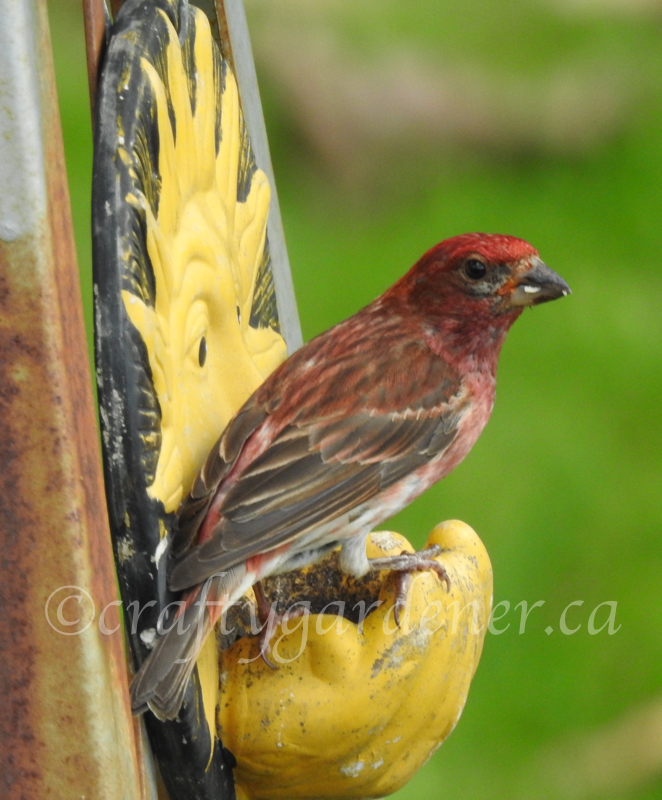 a purple finch at the sun face feeder at craftygardener.ca