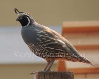 quail sightings in British Columbia