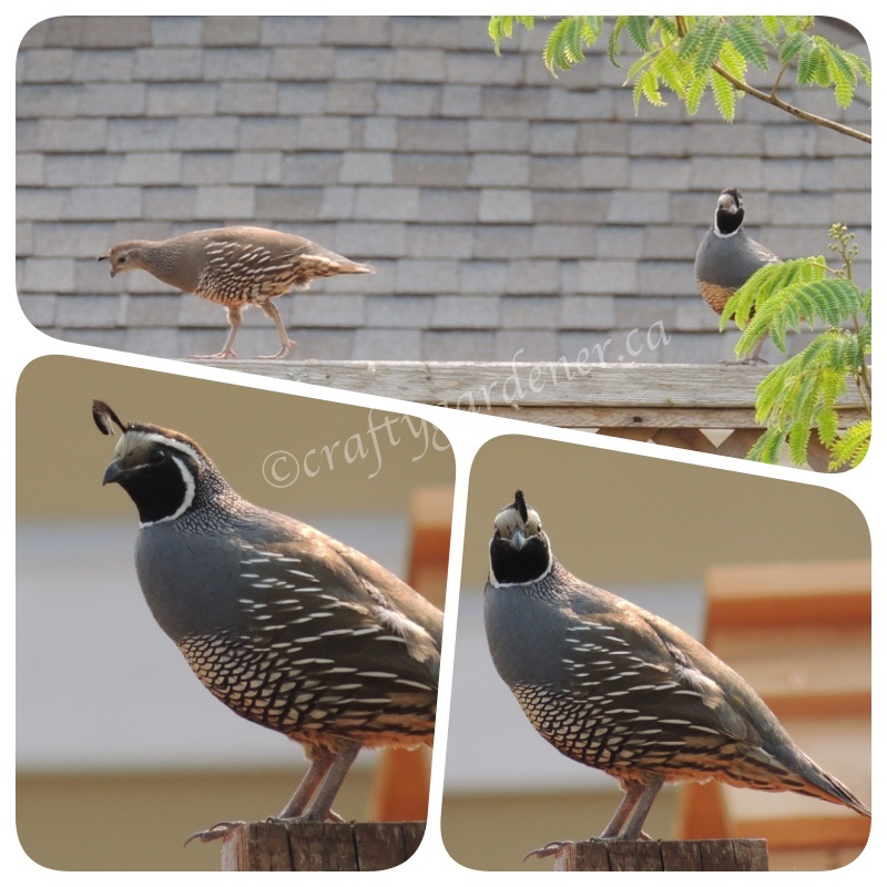 quail photographed in British Columbia 2016, by craftygardener.ca