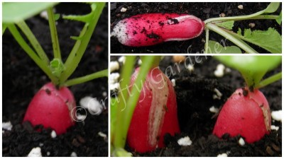 growing French Breakfast radish at craftygardenerca