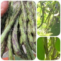growing rattlesnake beans at craftygardener.ca