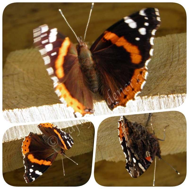 red admiral butterfly at craftygardener.ca