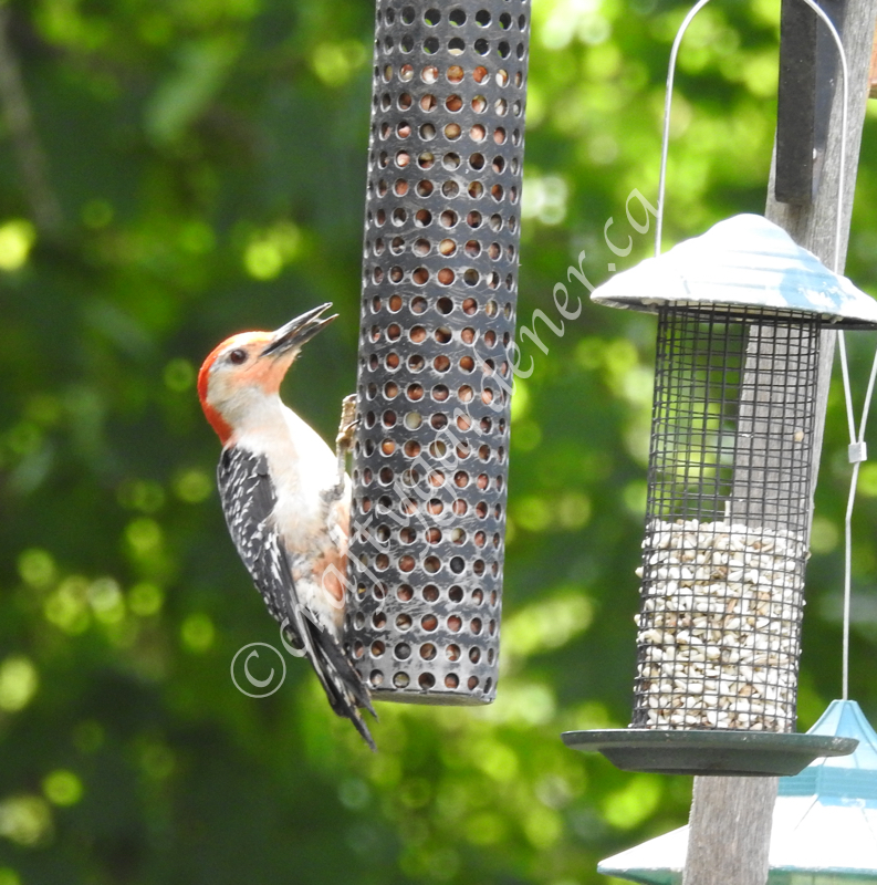 the red bellied woodpecker at craftygardener.ca