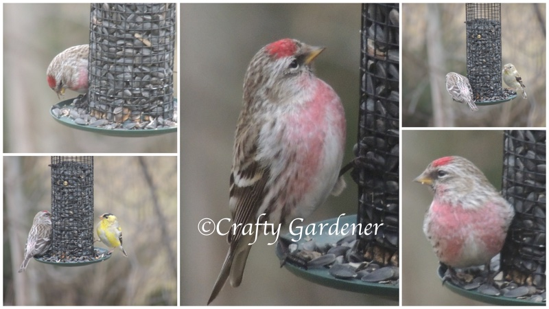 redpolls at craftygardener.ca