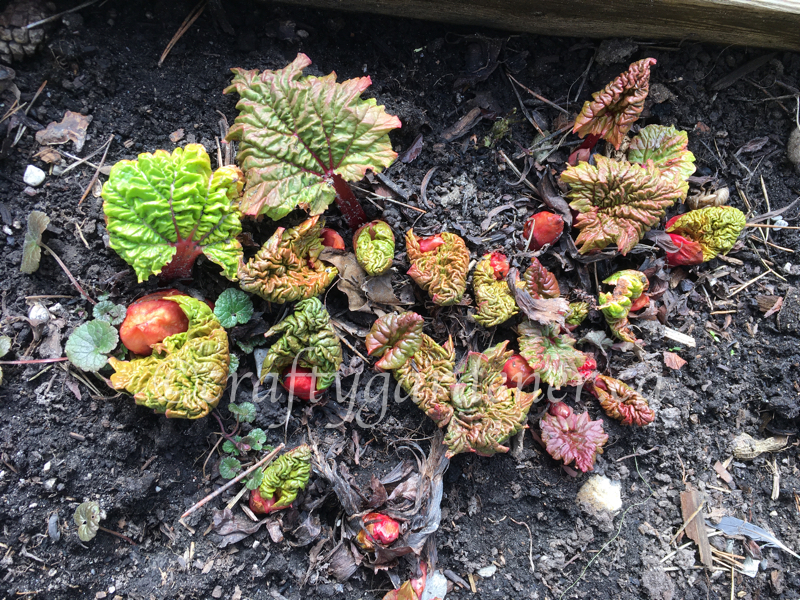 rhubarb growing at craftygardener.ca