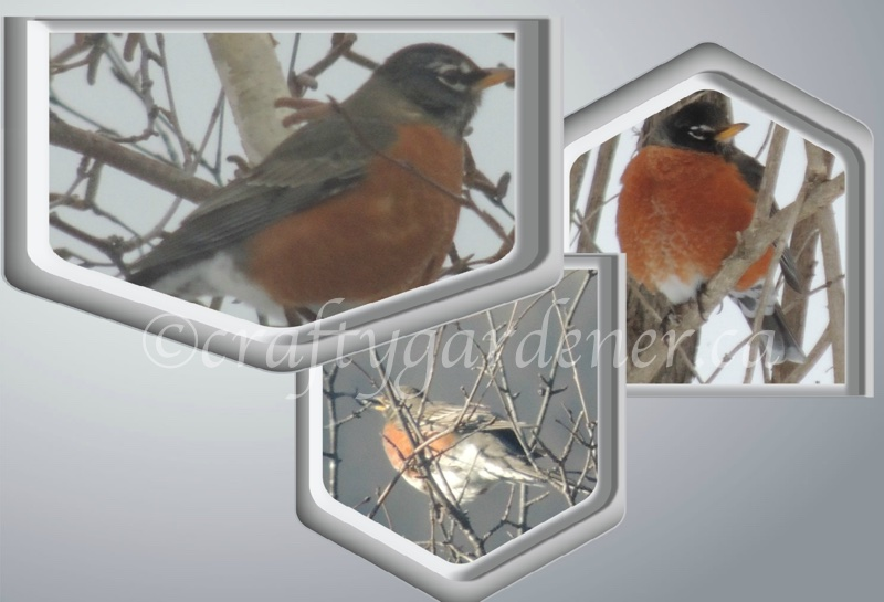 robins in February at craftygardener.ca