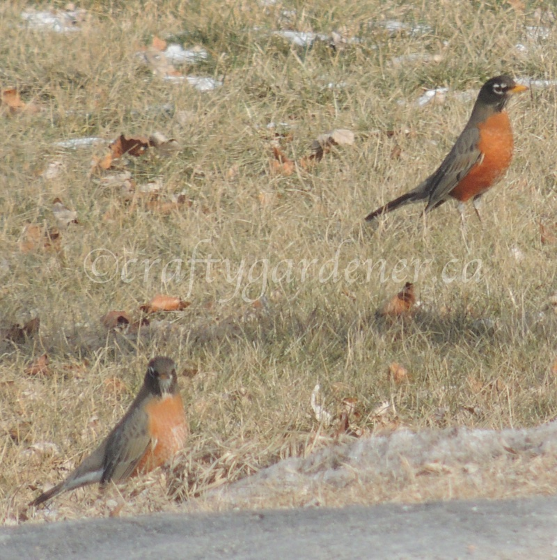 2sDay robins at craftygardener.ca