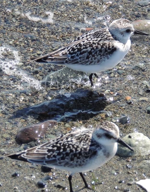 sandpipers along the shore of the Esquimalt Lagoon, British Columbia