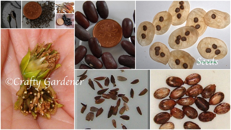 seed identification at craftygardener.ca
