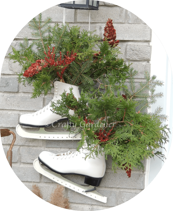 winter greenery in the old skates at craftygardener.ca