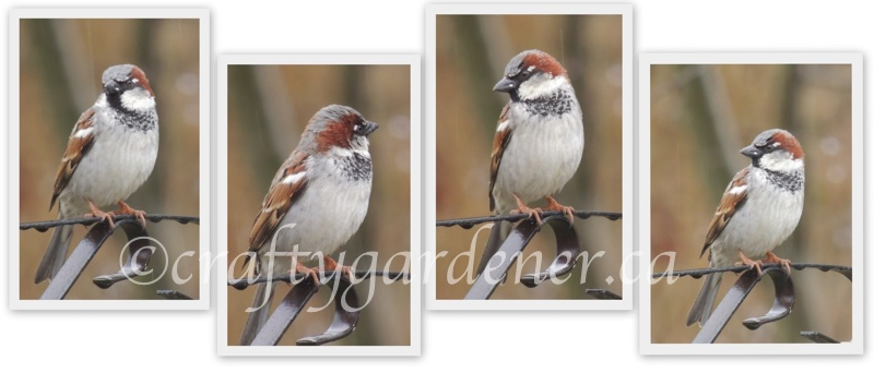 male house sparrow at craftygardener.ca