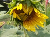 sunflower03a