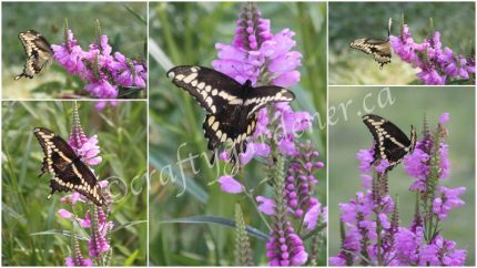 a swallowtail butterfly at craftygardener.ca