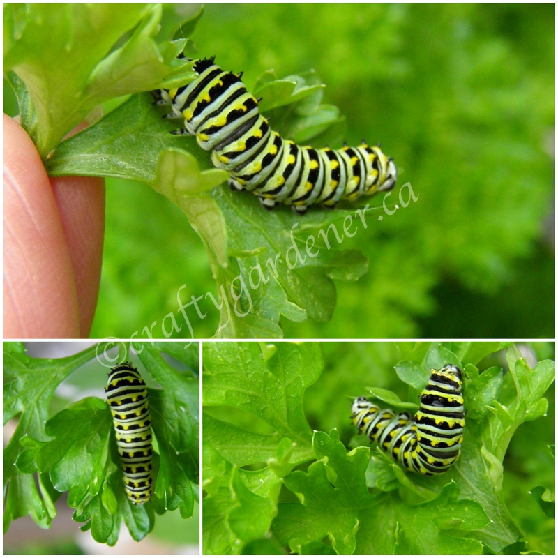 caterpillars of the swallowtail butterfly at craftygardener.ca