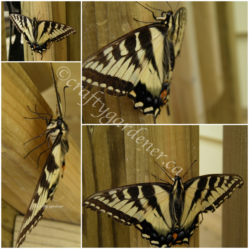 a tiger swallowtail at craftygardener.ca
