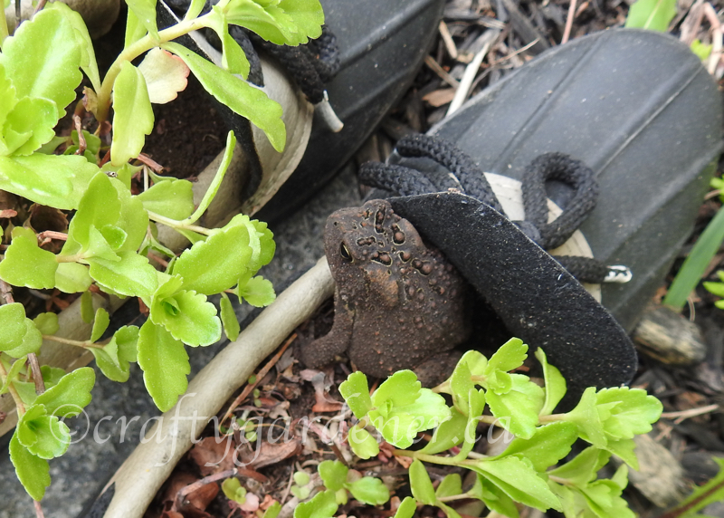 a toad living in some old garden boots at craftygardener.ca