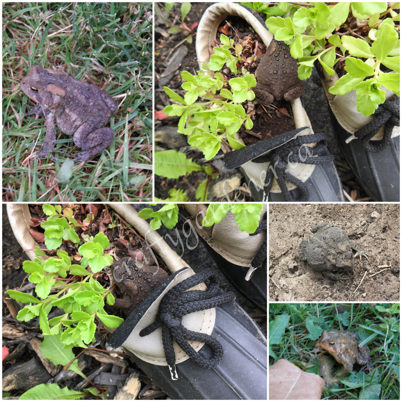 toads in the garden at craftygardener.ca