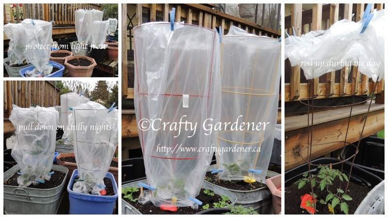 protect tomato plants on chilly nights with a clear plastic bag and some clothes pins ... roll down overnight and fasten around the tomato cage, roll up and fasten at the top during the day.