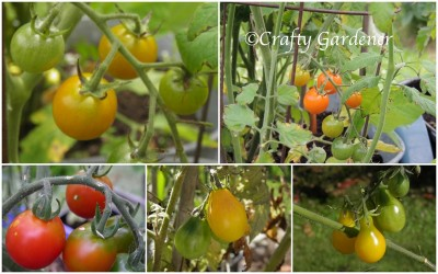 tomatoes2013a