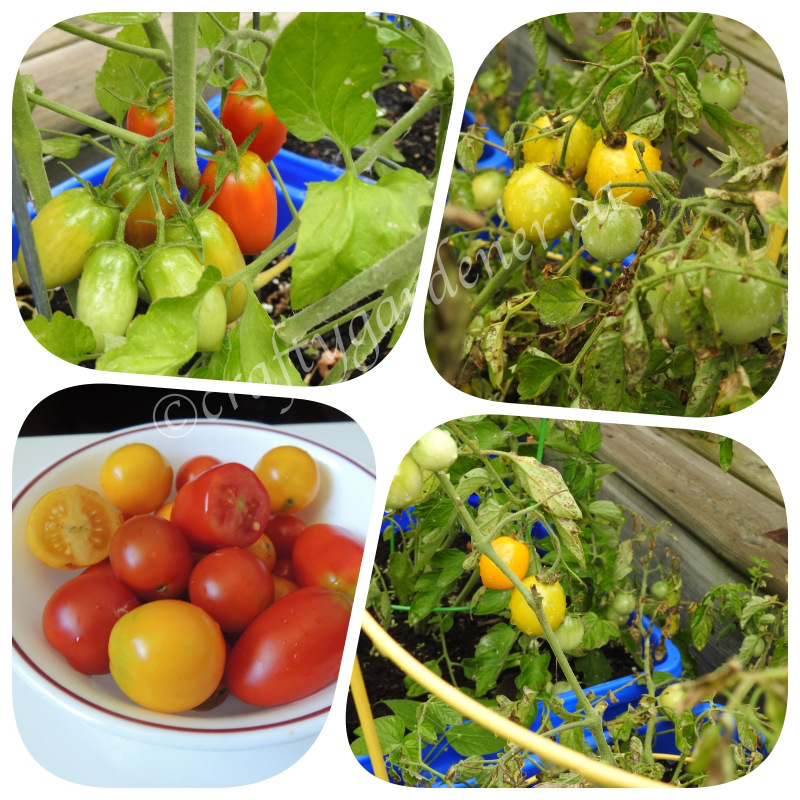 homegrown tomatoes at craftygardener.ca