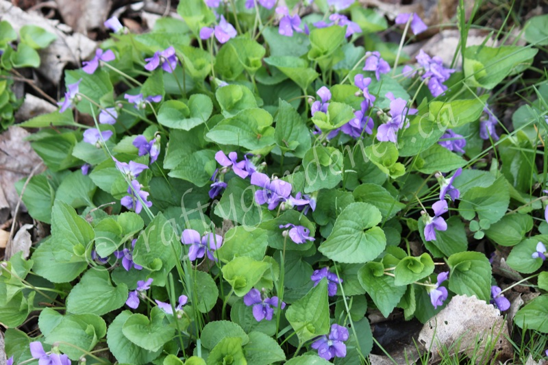 violets at craftygardener.ca