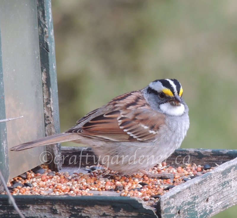April 202, white throated sparrow at craftygardener.ca